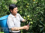 Мандарин из района Мыонгхыонг – экзотический фрукт на северо-западном нагорье