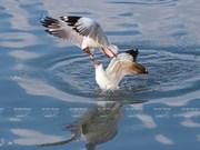 Жизнь некоторых водоплавающих птиц во Вьетнаме
