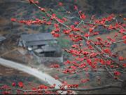 Сезон хлопковых цветов на каменистом плато Хажанг