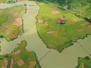 Сезон спелого риса в Чунгкхань, провинция Каобанг