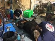 Передача одной особи медведя, находившегося в неволе более 15 лет в Хайзыонге