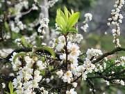 Сезон цветения сливы Мокчау - идеальное место для зимнего туризма.