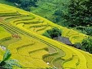 Насладитесь красивыми видами террасных полей в Хоангшуфи