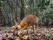 Кадры с уникальными мышами-оленями, которые недавно обнаружили во Вьетнаме за почти 30 лет