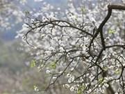 Цветение сливы Мунау украшает плато Мокчау