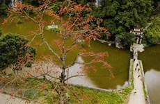Пора цветения хлопковых деревьев в Ниньбине