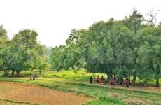Аллея тысячелетних тутовых в деревне Дыонглам