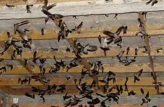 Применение науки и технологий в разведении свифтлотов на съедобное гнездо во Вьетнаме