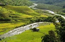 Поля спелого риса на приграничной территории в Лайтьяу