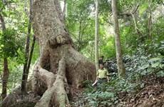 Вьетнам увеличивает насаждение леса в 2019 году