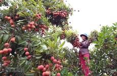 Вьетнам экспортирует первую партию личи в Японию в конце мая