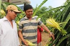 Крестьяне Тьенжанга переключаются с выращивания риса на выращивание фруктов и овощей