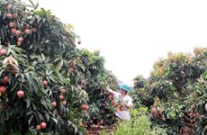 Японские эксперты прибудут во Вьетнам для изучения экспорта личи