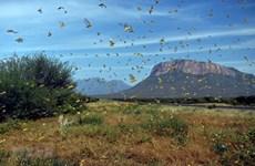 Министерство сельского хозяйства готовится к возможному нашествию пустынной саранчи