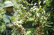 Вьетнам работает над увеличением экспорта лонгана в Китай