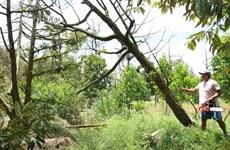Фермеры Бенче пытаются заменить поврежденные фруктовые сады