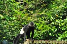 Премьер-министр призывает к действиям по защите исчезающих лангуров в Ханаме