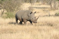 Трогательная реклама, направленная на сокращение потребления рогов носорога, запущена во Вьетнаме