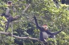 Сохранение популяций редких лангуров в Куангнам