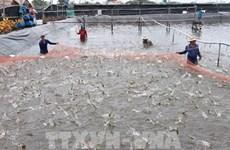 Киенжанг выдает идентификационные коды ферм по выращиванию солоноводных креветок
