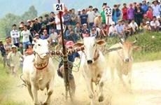 Фестиваль гонок на быках в Анжанге стремится получить международный статус