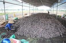 Район Меконг производит высококачественный сладкий картофель на экспорт