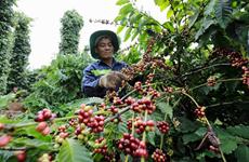 Объявлены победители вьетнамского конкурса особого кофе