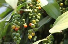 Экспорт перца во Францию из Вьетнама резко увеличится за 7 месяцев