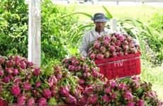 Драгонфруты Биньтхуана получит PGI в Японии