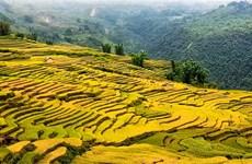 Удивительный «золотой сезон» на террасных рисовых полях Ити