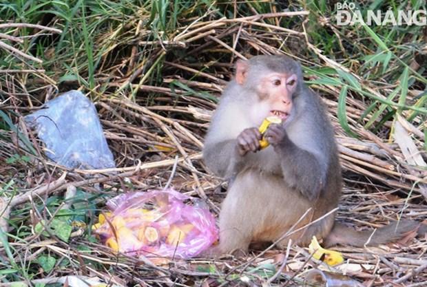 Вернуть обезьян обратно в лес по предупреждению COVID-19 hinh anh 1