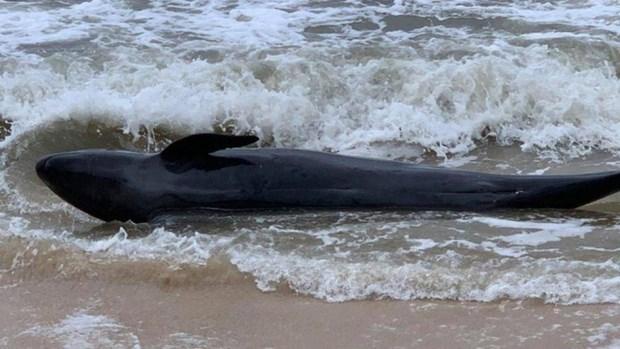 300-килограммовыи кит был выброшен морем на берег Фу-иена hinh anh 1