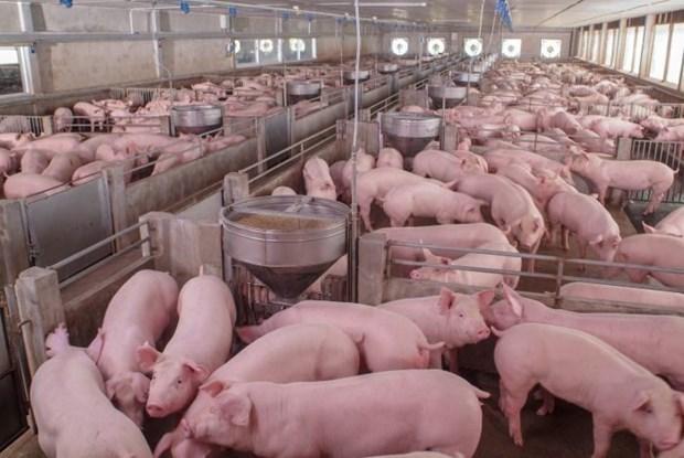 Россия становится крупнеишим поставщиком свинины на вьетнамскии рынок hinh anh 1