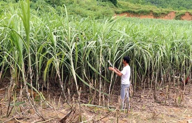 Вьетнам остается крупнеишим импортером сахара Лаоса hinh anh 1